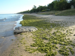 Algae accumulating on the southern shores of Lake Huron. Photo credit: Allan Crowe